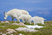 Close-up of female mountain goat with two kids walking on ridge by Danita Delimont