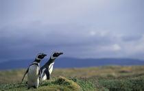 Magellanic penguins (Spheniscus magellanicus) by Danita Delimont