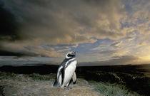 Magellanic Penguin (Spheniscus magellanicus) von Danita Delimont
