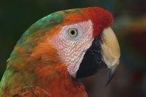 Macaw portrait by Danita Delimont