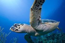 Underwater view of Hawksbill Turtle (Eretmochelys imbricata) swimming above coral reef near Bloody Bay Wall by Danita Delimont