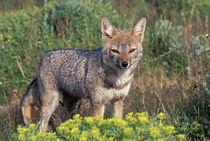 Argentine grey fox (Disicyon griseus) by Danita Delimont