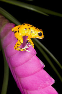 Close-up of poison dart frog on pink leaf von Danita Delimont