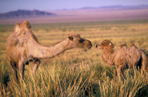 Camel; bactrian (Camelus bactrianus); wild by Danita Delimont