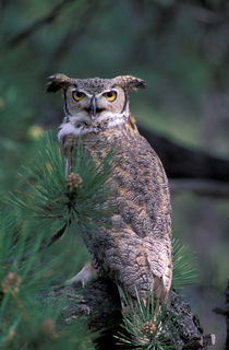 Great Horned Owl in pine tree von Danita Delimont