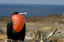 Male Great Frigatebird with inflated gular pouch in courtship display (WILD: Fregata minor ridgwayi) by Danita Delimont