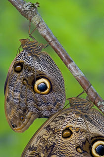 Sammamish Washington Tropical Butterflies photograph of Caligo memnon the Giant Owl Butterfly von Danita Delimont