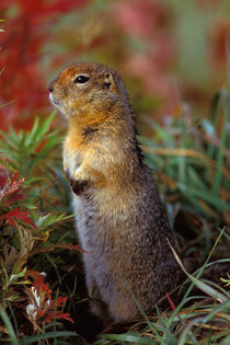 Arctic ground squirrel by Danita Delimont