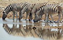 Burchell's Zebra (Equus burchelli bohmi) drinking by Danita Delimont
