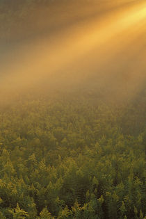 Meadow of goldenrod plants bathed in foggy summer sunlight by Danita Delimont