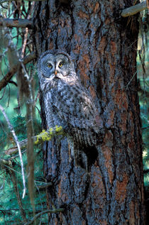 Great Grey Owl von Danita Delimont