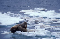 Walrus and young on ice in Chukchi Sea by Danita Delimont