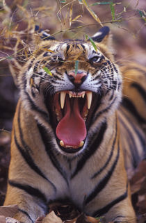 A 20-month-old male tiger cub yawning (Bathan) by Danita Delimont