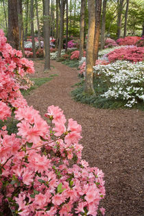 A pathway through azaleas and rhododendrons von Danita Delimont