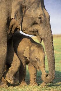 Indian Elephants (Elaphus bengalensis) by Danita Delimont