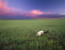 Buffalo Skull in Prairie Grass near Medora North Dakota by Danita Delimont