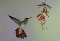 Rufous-tailed hummingbird flies to red flowers to feed von Danita Delimont