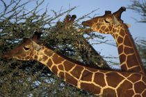Reticulated Giraffe herd (Giraffa camelopardalis) feeding on acacia at sunset by Danita Delimont