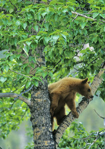 Cinnamon colored black bear in aspen tree in Waterton Lakes National Park in Alberta Canada by Danita Delimont