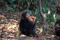Infant Chimpanzee by Danita Delimont