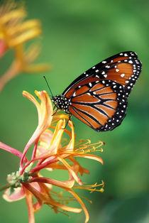 Queen Monarch resting on Spiderflower von Danita Delimont