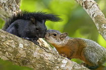 Both color phases of red-bellied squirrels interacting by Danita Delimont
