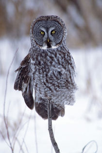 Great Gray Owl near Pine City MN by Danita Delimont