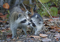 Young raccoon kissing adult by Danita Delimont