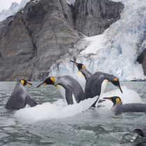 King Penguins (Aptenodytes patagonicus) swimming by iceberg calved from tidewater glacier along Golden Harbour on late summer morning von Danita Delimont