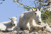 Mountain goat nanny with kid in Glacier National Park in Montana by Danita Delimont