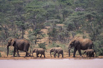 African Elephants by Danita Delimont