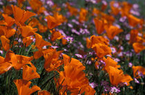 California Poppies and Davy Gilia by Danita Delimont