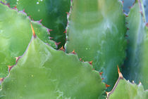 Agave (Agave shawii) by Danita Delimont