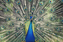 Male Peacock displaying (Pavo cristatus) by Danita Delimont