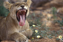 Lion cub yawns in acacia tree's shade (Panthera leo) by Danita Delimont
