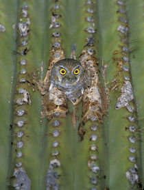 Elf owl by Danita Delimont