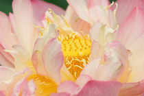 Lotus with ruffled petals by Danita Delimont