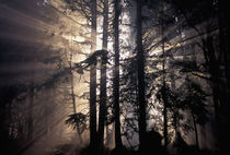 Sun rays through trees von Danita Delimont
