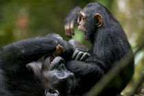 Juvenile Chimpanzee (Pan troglodytes) playing with adult in rainforest clearing by Danita Delimont