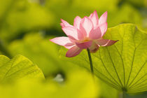 Lotus leaves to the sides and in background by Danita Delimont