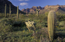 Saguaro cacti and cholla with Ajo Mountains by Danita Delimont
