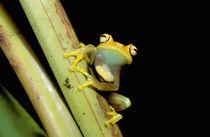Tree frog (Hyla granosa) von Danita Delimont
