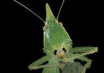 Green katydid (family Tettigonidae) by Danita Delimont