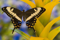 Washington Tropical Butterfly Photograph of Papilio ophidicephalus the Emperor Swallowtail from Africa by Danita Delimont