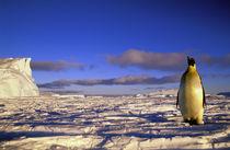 Emperor Penguin (Aptenodytes forsteri) by Danita Delimont