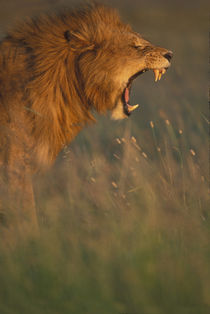 Adult male Lion (Panthera leo) bares teeth while yawning in tall grass on savanna at dawn by Danita Delimont