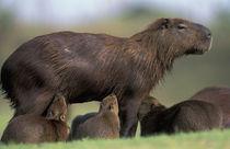 Pantanal Capybara (Hydrochoerus hydrochaeris) mother nursing several babies by Danita Delimont