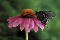 Spicebush Swallowtail on Mullin (Papilio troilus) by Danita Delimont