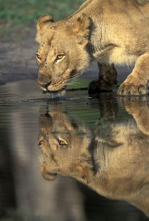 Lioness (Panthera leo) drinks from pool by Khwai River in early morning by Danita Delimont