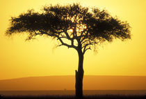 Rising sun silhouettes lone acacia tree on savanna at dawn by Danita Delimont